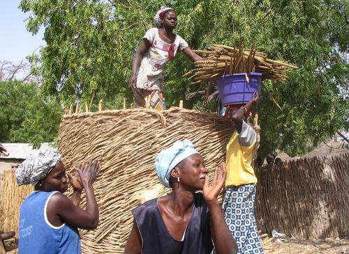 Viljankorjuuta Senegalissa. KUVA: Mirja Montonen